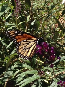 Monarch on our Butterfly Bush  10.5.14
